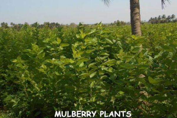 3-entomiology-mulberry-plants283EC35F-FD1E-2C14-05A5-8548837BFB6F.jpg