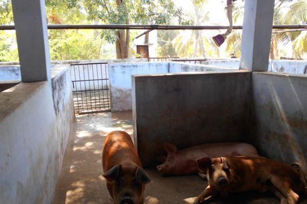 swine-farm-1E61862D7-597C-14B5-502C-DCE7C59989C4.jpg